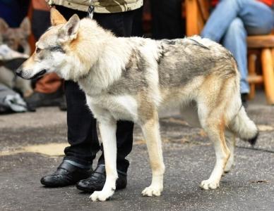 Crying wolf HARMONIA