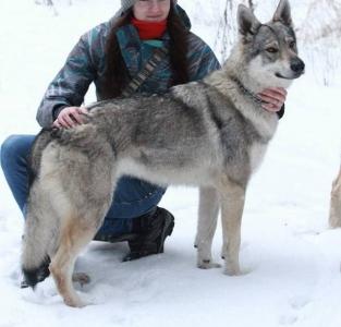 BAJA Saris Wolfs