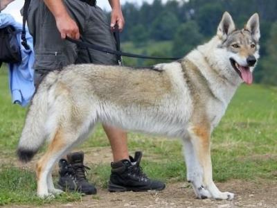 Crying wolf TARA
