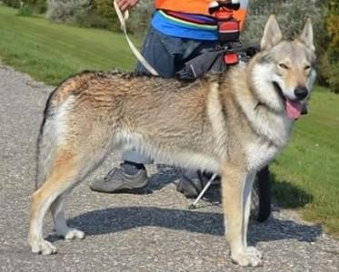 EGON Vikvel wolf