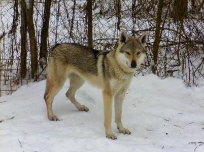 AYASHE Zdychavský vlk