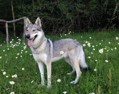 EMBER Vikvel wolf