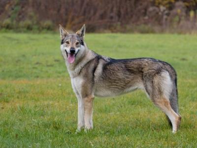Zdychavský vlk Abigail