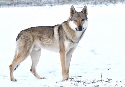 AKIM Dunajský vlk