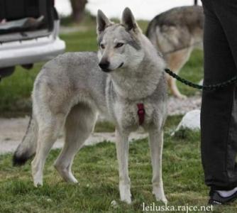 ANGIE Echelon wolf