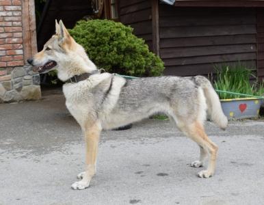 ARIS  Saris Wolfs