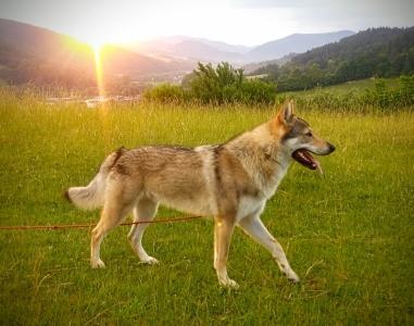 Zdychavský vlk BODRÍK