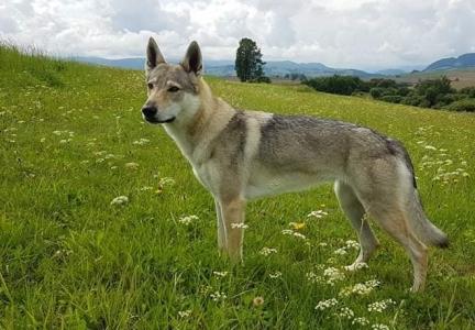 BÚRKA Zdychavský vlk