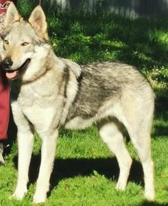 CHA LEICA Vikvel wolf
