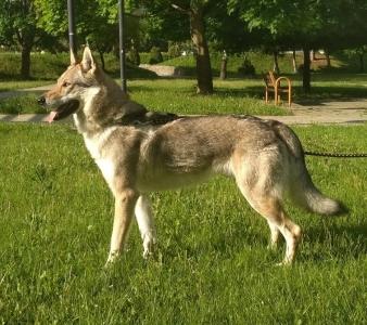 Cherokee Lupus Ardor