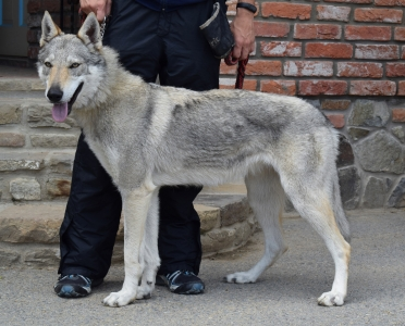 GYRA Vikvel wolf