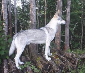 Hakym Vikvel wolf