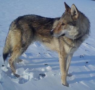 IAN GILLAN von der Wolfsschleife