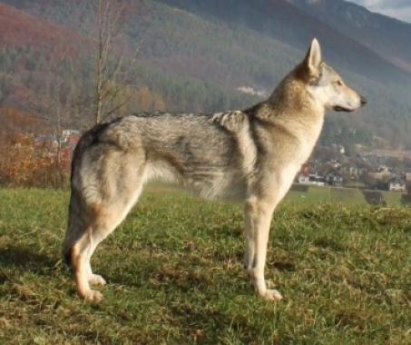 ARIANA Zdychavský vlk
