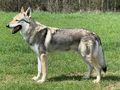 Vlk spod Ďumbiera
